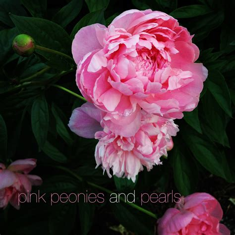 the pink peonies pink peony in indiana pink peonies and pearls
