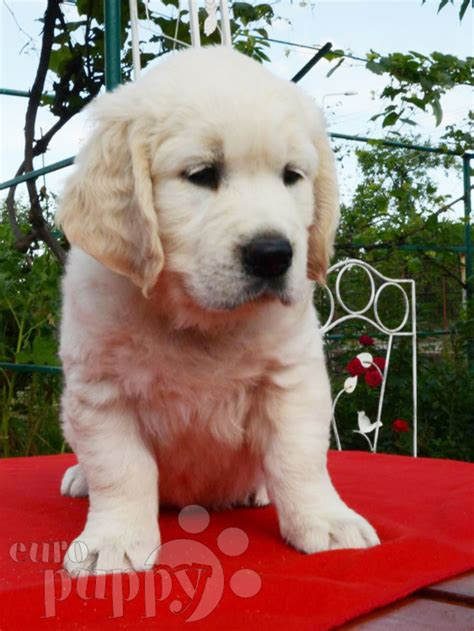 golden retriever breeders mo big mo golden retriever puppy for sale puppy