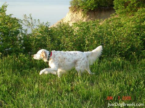 english setter3 jpg english setter dog breeds lilly english setter dog breeds