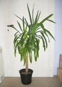 Indoor House Plants by Potted Yucca Plants How To Care For A Yucca Houseplant