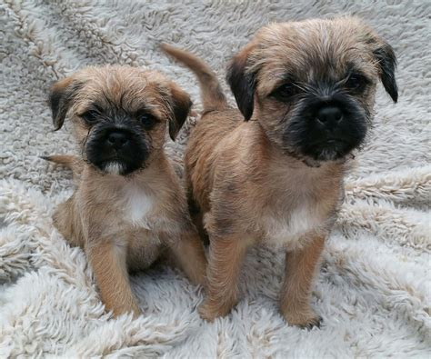 shih tzu x border terrier shih tzu facts breeds picture