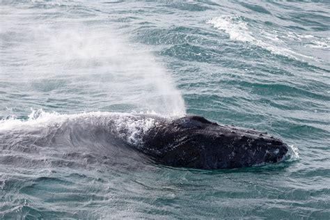 Wally The Whale X A W T B Fait La - 레이캬비크에서 출발하여 대서양의 해양생물과 고래를 찾아 떠나는 고래 관측 투어 guide to iceland