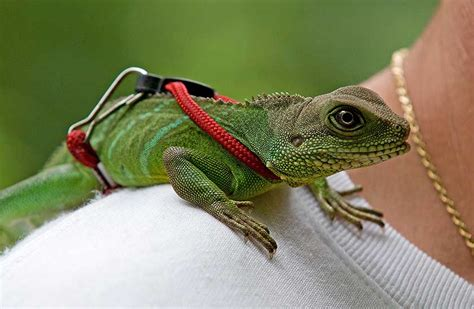 chinese water dragon facts  pictures