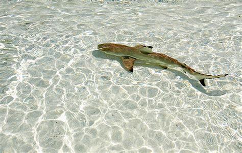 baby shark real life baby sharks sharkopedia