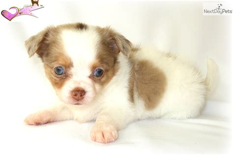 puppies for sale in worcester ma chihuahua puppy for sale near worcester central ma massachusetts 04965607 e491