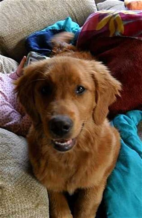 blooded golden retriever puppies 6 month blooded golden retriever pet adoptions delphos adsinusa