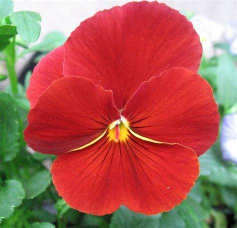 imagenes de flores llamadas pensamientos cu 225 les son las flores de oto 241 o erenovable com