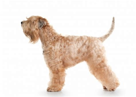 soft coated wheaten terrier dog breed information soft coated wheaten terrier dog breed information buying