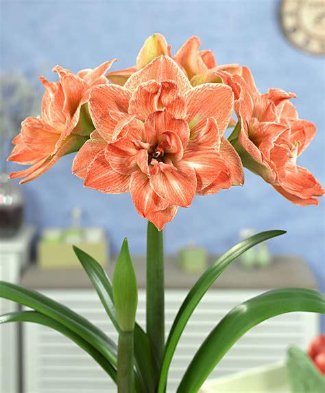 Hack For Home Design buy amaryllis exotic nymph flower bulb from bakker com
