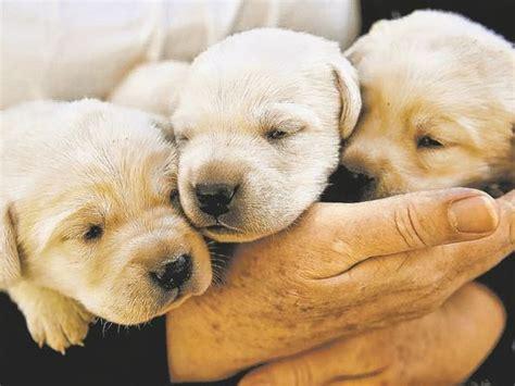 pet store puppies for sale reno pet store will halt sale of puppies