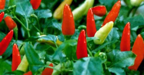 klasifikasi tanaman cabe rawit klasifikasi tanaman  hewan