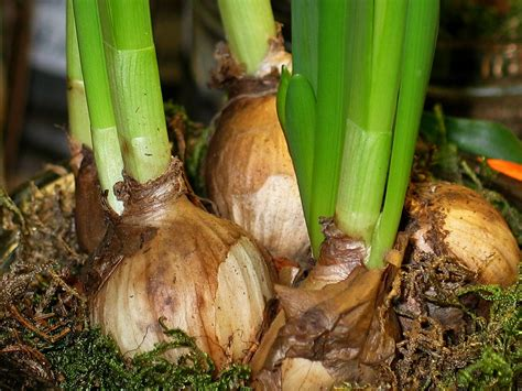 planting spring bulbs to extend garden season st george news