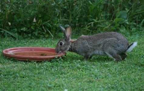 do rabbits need water celia haddon