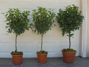 patio tree care patio trees topiary creations