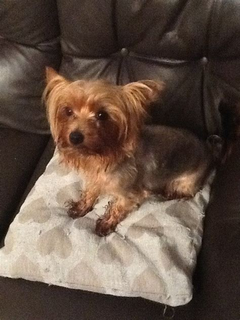 1 year yorkie pictures 1 year yorkies pictures 2 year teacup yorkie for sale salford my 1 year
