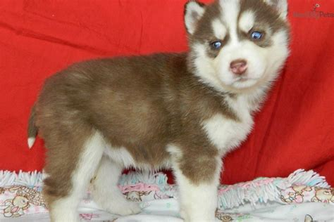 brown husky puppy siberian husky puppy for sale near south bend michiana indiana f55e137f 5341