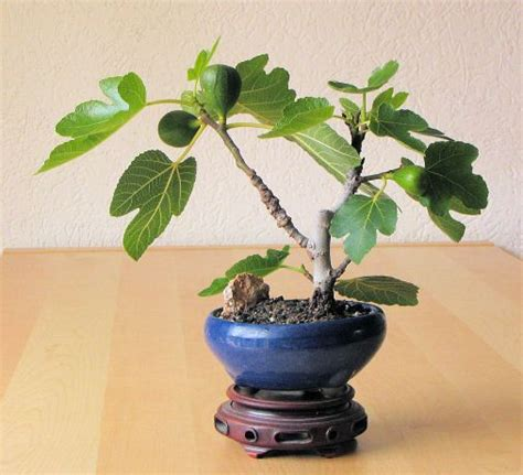 caf礙 olmo 541 best images about bonsai on trees bonsai