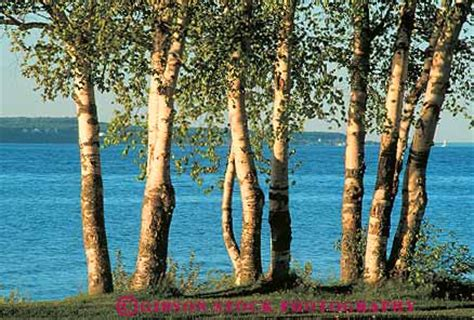 birch trees  crystal lake sleeping bear dunes national lakeshore michigan stock photo
