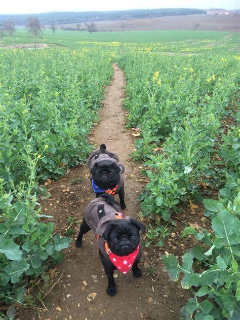 pug brothers 9589 best precious pugs images on pugs pug and pug