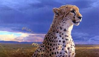 cheetah wallpapers hd wallpaper cave
