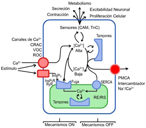 cadenas musculares scielo ion calcium its regulation and function in the pancreatic