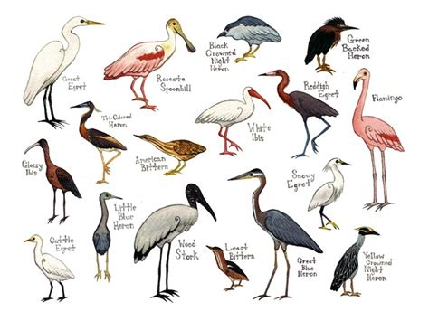 water birds field guide style watercolor painting by