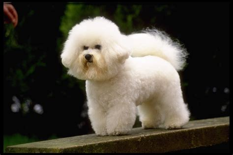 bichon frise puppies bichon frise dogs photo 13248846 fanpop