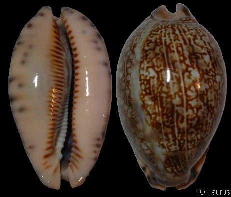 mauritia arabica arabica massauensis var