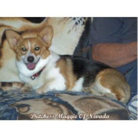 corgi puppies utah shih tzu breeders in utah freedoglistings breeds picture