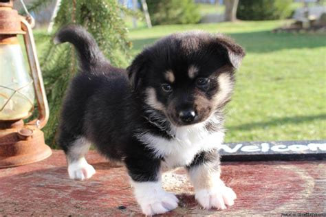 pics of pomsky puppies pomsky characteristic appearance and pictures