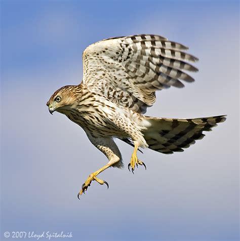coopers hawks coopers hawk pictures coopers hawk cooper s hawk a wild bird amazing facts the wildlife