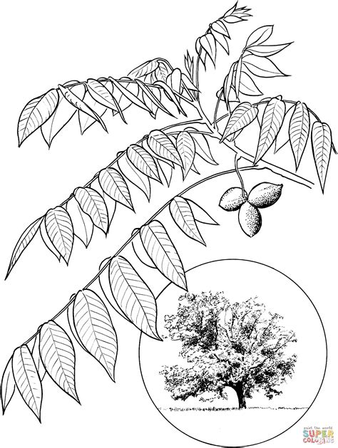 Walnut Tree Coloring Page | butternut or white walnut coloring page free printable