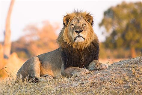 the lion and the hunter who helped kill cecil the lion gets charges dropped takepart