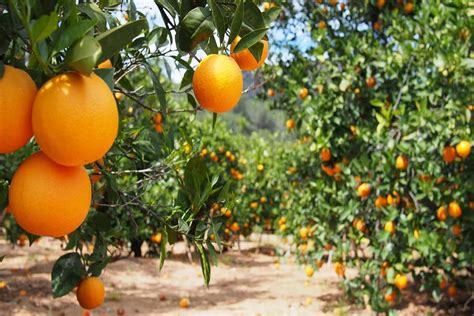 what time does the monster truck show start monster truck through the orange groves things to do in
