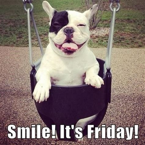 friday puppy smile it s friday friday dogs frenchbulldog friday dogs