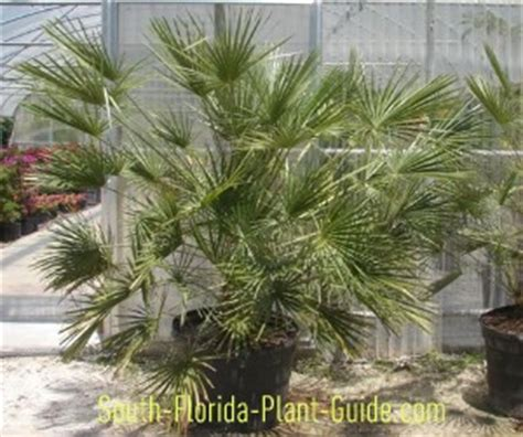 fan palm growth rate european fan palm