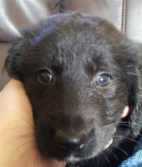 black golden retriever puppies for sale black labrador x golden retriever puppies for sale st austell cornwall pets4homes