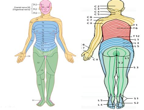 dermatomes map spinal cord dermatomes map