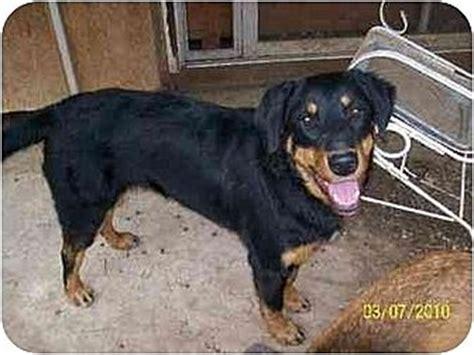 shepherd rottweiler mix size norman ok rottweiler australian shepherd mix meet meme a for adoption