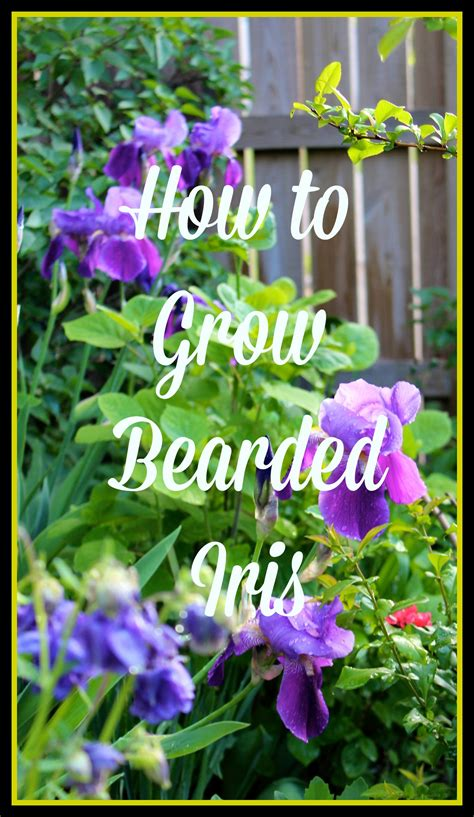 how to grow bearded iris friday s flowers new house new home
