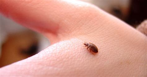 bed bugs how to killed them bed bugs the good the bad and how to kill them