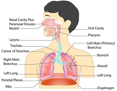 diagram of esophagus esophagus and lungs diagram anatomy list