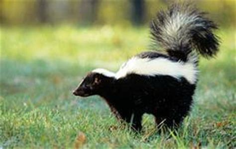 Why Does House Smell Like Skunk Image Gallery Skunk Stink