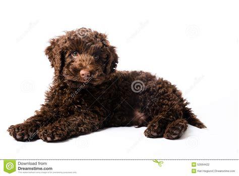 mini doodle nederland labradoodle mini puppy stock foto afbeelding 52694422