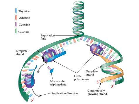 dna replication diagram labeled diagram of dna replication 28 images dna