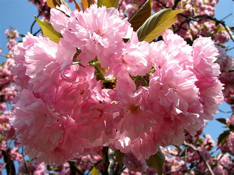 flowering shrubs canada burlington royal botanical gardens pink flowers on