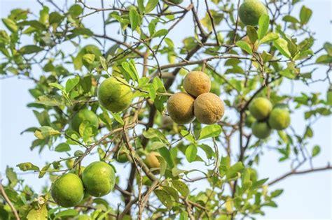 come si coltiva il limone in vaso potare limone frutteto come potare il limone