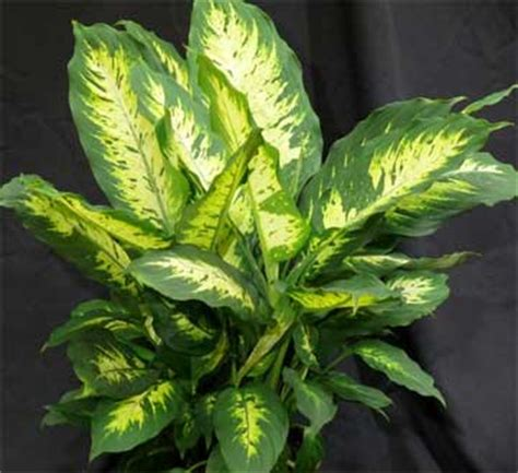 house for plants dieffenbachia plant how to grow and care for the dumb cane