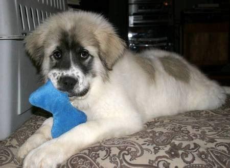 pug st bernard mix best 25 cutest breeds ideas on puppy breeds small dogs and
