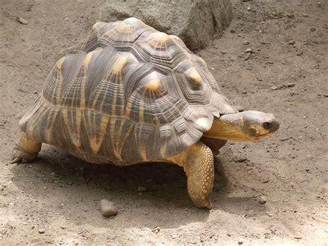 Tortoise L by Of The Jungle Characteristics Of The Radiated Tortoise
